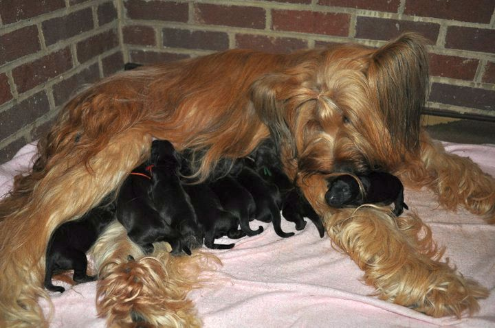 Cedar and nine new puppies